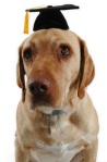 dog graduation cap